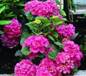 Hortensia Haveplanter