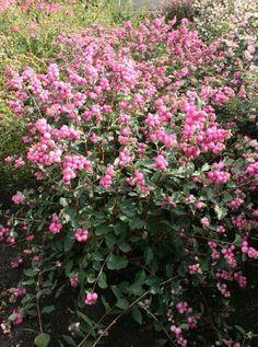 snebær__mother_of_pearl__rosa__symphoricarpos_
