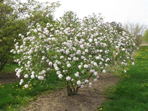 Snebolle Rosahvid 175200 Cm Med Klump Eller Potte Dobbelt Blomst