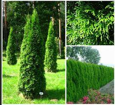 thuja__smaragd__occidentalis__