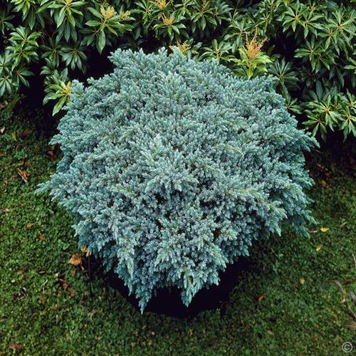 enebær__blue_star__juniperus_squamata__haveplanter__bundækkeplanter__