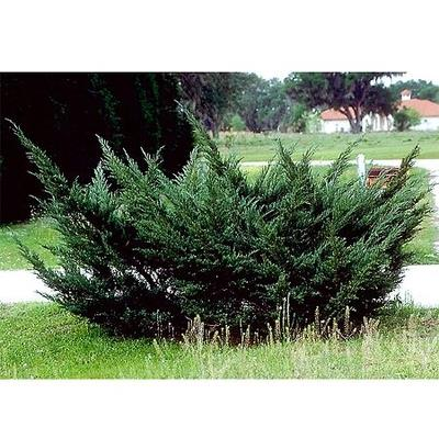 enebær__chinensis__juniperus_chinensis_pfitzeriana__haveplanter__læhegn__