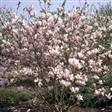 Magnolia Haveplanter