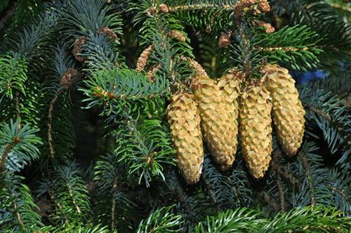 sitka__picea_sitchensis__