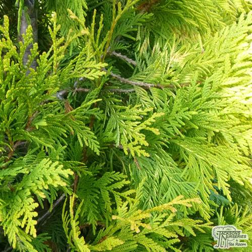 thuja__yellow_ribbon__gul__occidentalis__søjlethuja__