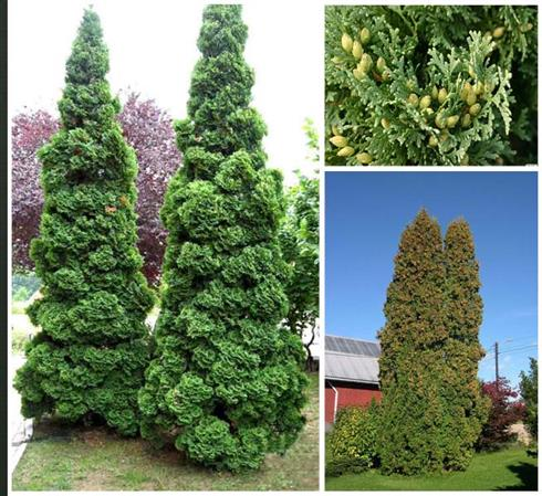 cypress__kelleris__chamaecyparis__hegnsplanter_haveplanter_hæk