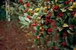Cotoneaster Haveplanter